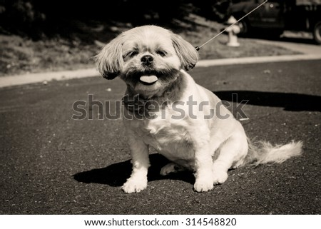 Cute little Shih Tzu mix dog panting on street in sepia