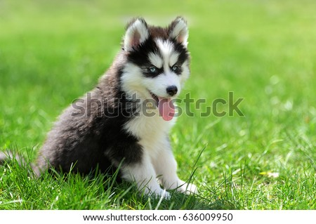 Cute little siberian husky puppy in grass #636009950