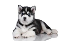 Cute little siberian husky puppy lying on a white background