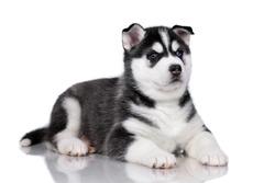 Cute little siberian husky puppy on white background