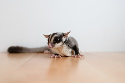 Cute little Sugar Glider on wooden table and white wall background.