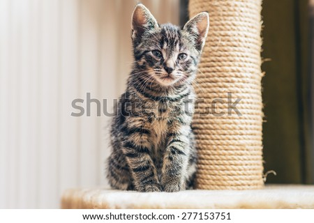 Cute little tabby kitten leaning contentedly up against a scratching new rope post looking at the camera with a curious expression