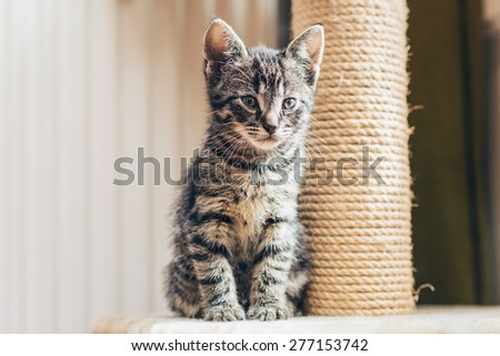 Cute little tabby kitten with a new scratching post sitting close up against it staring thoughtfully ahead