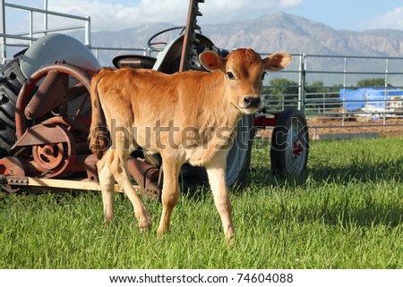 cute little tan calf standing in front of farm tractor