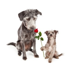Cute little terrier crossbreed puppy dog lokking up at his mother and handing her a single red rose flower for Mother's Day