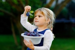 Cute little toddler girl picking ripe plums from tree in garden. Happy child holding fresh fruits. Healthy organic fruit, summer harvest season. Kid learning healthy food.