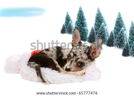 Cute little unique black spotted chihuahua with one blue eye and one brown laying inside a christmas santa hat with snow and trees in the background