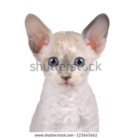 Cute Little White Cornish Rex Kitten with Blue Eyes Looking at Camera