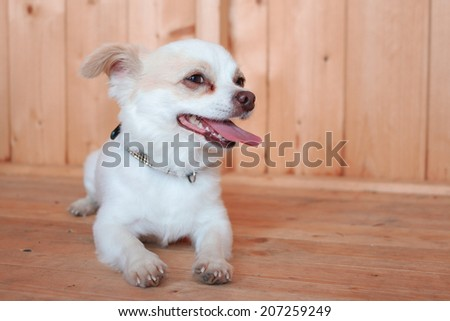 Cute little White dog dog lying down and relaxing