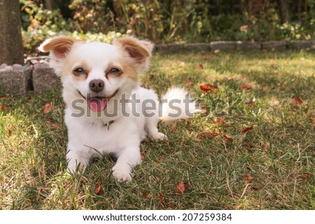 Cute little white dog lying down outdoor