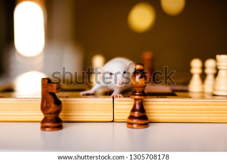 Cute little white rat with big ears siting on the chess board on the warm yellow background. #1305708178