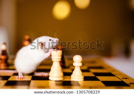 Cute little white rat with big ears siting on the chess board on the warm yellow background. #1305708229