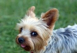 Cute little yorkie with a puppy cut