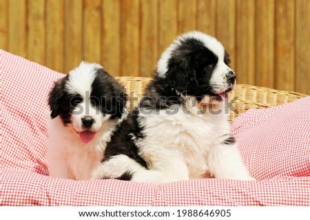 cute livestock guardian dog puppy of breed mastin de los pirineos Foto stock ©
