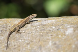 cute lizard taking sun on rock stone isolated