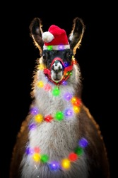 Cute llama in Santa hat with colorful garland around the neck at Christmas on black background