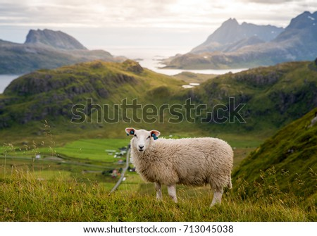 Cute lofoten sheep #713045038