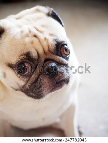 cute lovely sad and lonely white fat pug dog head shot close up standing still on gray concrete garage floor background head shot close up with moody color tone background