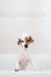 cute lovely small dog wet in bathtub, clean dog with funny foam soap on head. Pets indoors