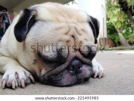 cute lovely white fat pug dog head shot close up laying flat on concrete garage floor close his big eyes sleeping under mild warm late afternoon sunlight