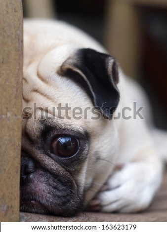 cute lovely white fat pug dog head shot close up lying flat on a wooden chair hiding his face open one big eye looking straight at the camera
