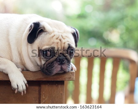 cute lovely white fat pug dog head shot close up lying flat on a wooden table making funny face under rimlight and nice green bokeh background