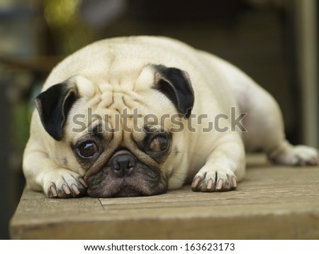 cute lovely white fat pug dog head shot close up lying flat on a wooden table making sad face looking at the camera under rimlight and nice green bokeh background