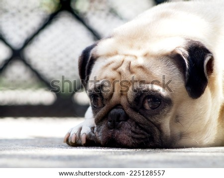 cute lovely white fat pug dog head shot close up lying flat on concrete garage floor open big eyes looking at the camera