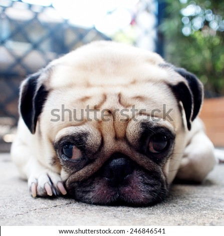 cute lovely white fat pug dog head shot close up lying flat on concrete garage floor open two big eyes looking straight at the camera with home surrounding