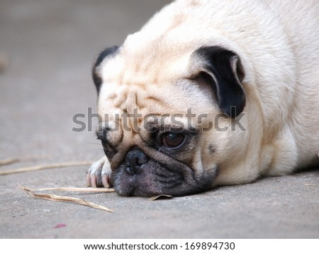 cute lovely white fat pug dog head shot close up lying flat on the floor making moody face.