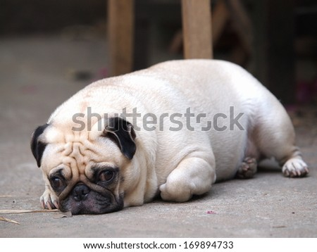 Fat Cute Pugs Cute Lovely White Fat Pug Dog