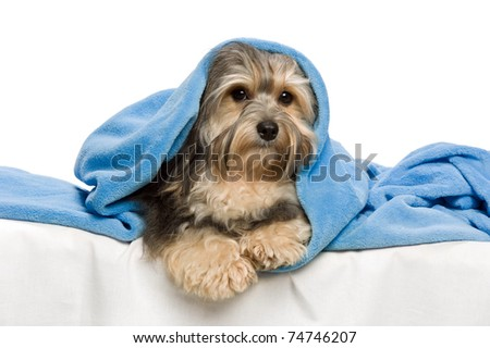 Cute lying tricolor Havanese dog in a bed. Isolated on a white background