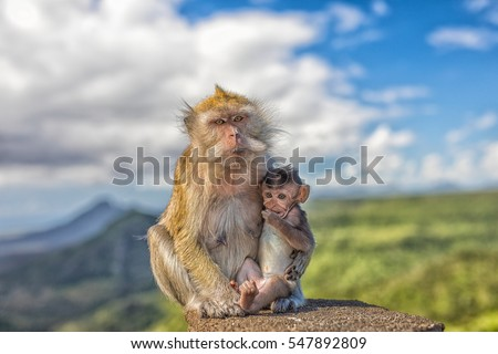 Cute macaque monkey with mother monkey in front of panorama-view in mauritius