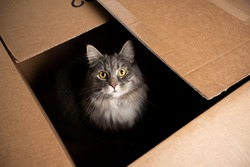 cute maine coon cat sitting inside of cardboard box looking up at camera