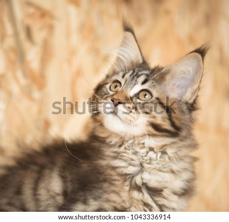 Cute Maine Coon kitten portrait over dirty yellow background #1043336914