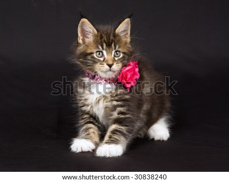 stock photo : Cute Maine Coon kitten wearing pink head band on black