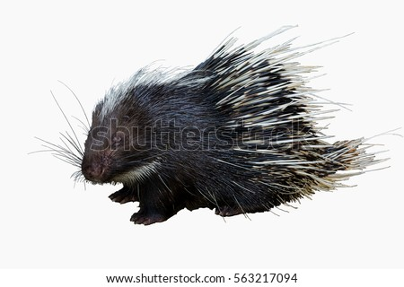Cute Malayan porcupine, Himalayan porcupine, Large porcupine (Hystrix brachyur) isolated on white background