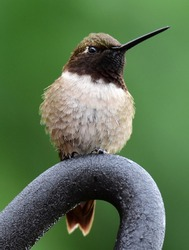 cute male black chinned hummingbird perched on a rod in summer in broomfield, colorado