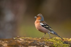 Cute male common chaffinch bird portrait, while standing on a tree trunk in the wild forest with beautiful colorful plumage
