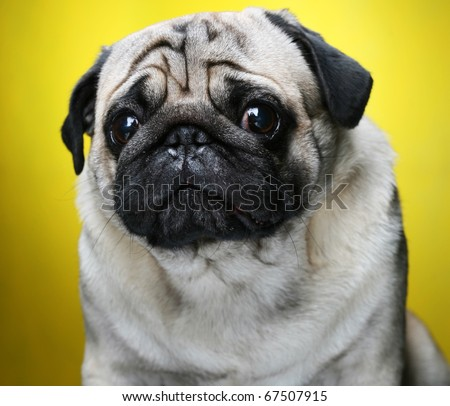 Cute Male Pug on yellow background