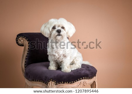 Cute Maltese dog sitting on beautiful, traditional chair, photographed on the brown background in the studio. White dog portrait.