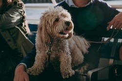 Cute maltese dog sitting on his owner's lap during the boat ride