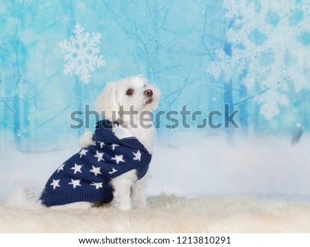 Cute Maltese dog wearing a starry sweater, image taken in a studio. Funny dog picture.