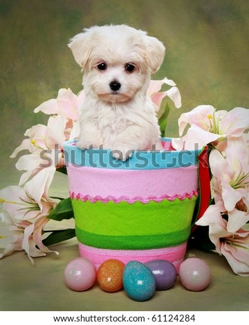 Cute Maltese puppy in Easter basket