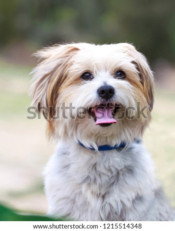 Cute maltese terrier dog portrait outdoors in nature