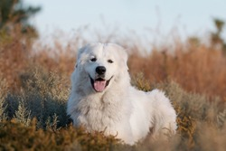 Cute Maremmano Abruzzese Maremma Sheepdog portrait posing in the nature