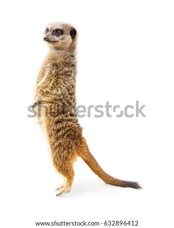 Cute meerkat standing up tall on toes. Isolated on white.