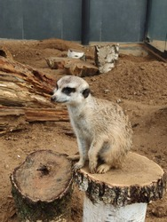 Cute meerkat stands on its hind legs and looks around. a family of meerkats on the sand and trees. Suricata suricatta