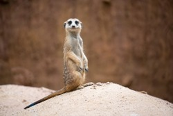 cute meerkat ( Suricata suricatta ) standing on the rock