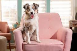 cute mini aussie on pink chair - miniature australian shepherd dog in sun room